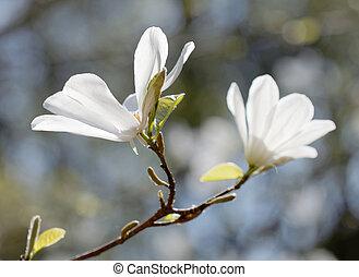 White rhododendron or rosebay flower (latin name:...