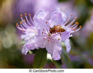 Blue rhododendron or rosebay flower and a bee (latin name:...