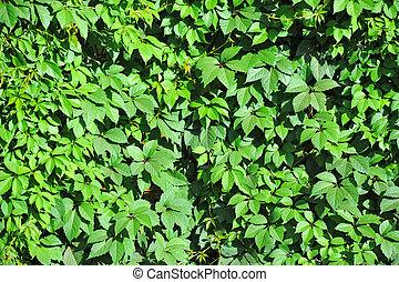 Wild vine leaves - Green wild vine plant leaves as...