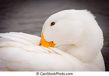White Duck Preening Itself - Close-up portrait of a domestic...
