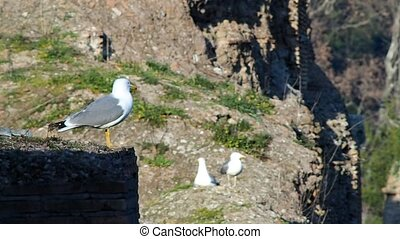 Seagull - seagulls on the walls of the Baths of Caracalla in...