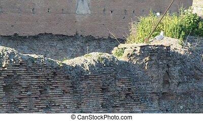 Seagull - seagull, gull, brick, Rome, walls, Caracalla,...
