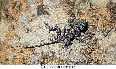 Southern Rock Agama lizard in Table Mountain National Park...