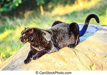 Black Panther at wildlife sanctuary near Plettenberg Bay,...