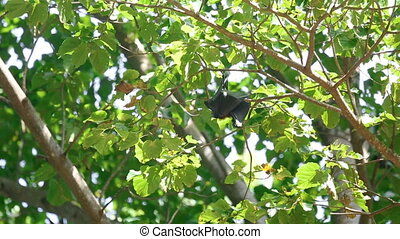Flying fox hangs on a tree branch and washes - Lyle flying...