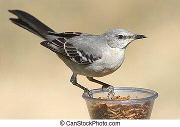 Northern Mockingbird (Mimus polyglottos) on a feeder