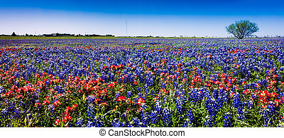 Panorama of Huge Field of Texas Wildflowers.