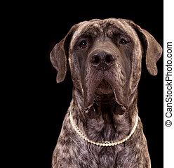 Large Mastiff dog