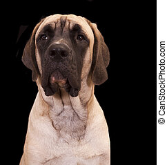 English Mastiff pup - Large breed of dog English Mastiff...