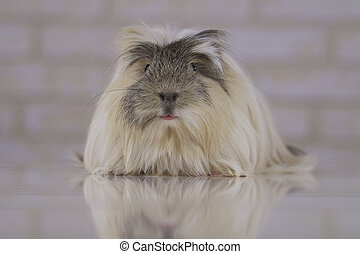 Guinea pig breed Coronet cavy - Beautiful funny Guinea pig...
