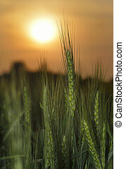 Fresh Green Wheat Stem at Sunset - High resolution image of...