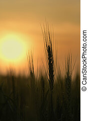 Silhouette of Wheat Stem - High resolution image of golden...