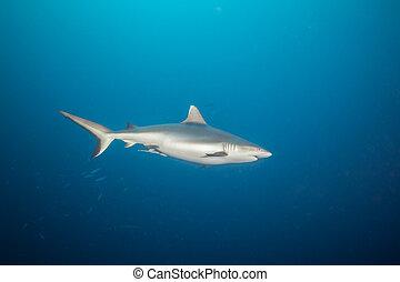 Grey reef shark floating in deep water