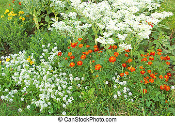 Tagetes in flowerbed - Beautiful rural flowerbed with red...
