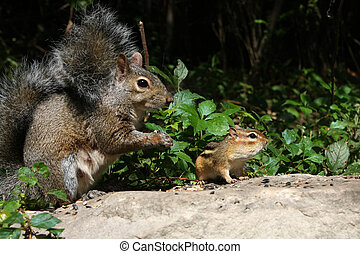 Gray Squirrel And Chipmunk - Eastern Gray Squirrel And...