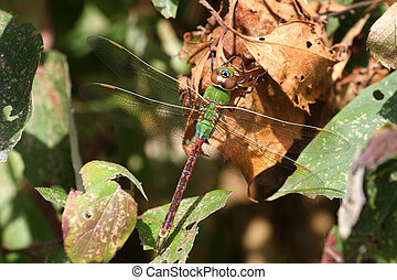 Green Darner Dragonfly Anax junius warming on sun on dead...