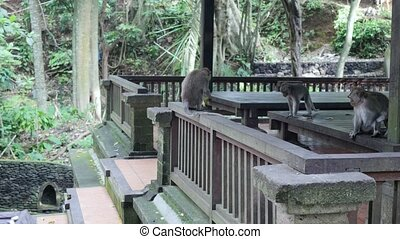 Monkey on a background of a wooden structure in Indonesia....