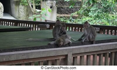 Family ideal monkey on a background of a wooden structure in...