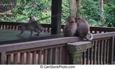 Funny monkey eats a paper in the tropical forests of...