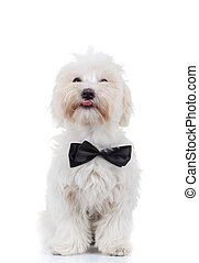bichon puppy is sitting and sticking out tongue isolated on...