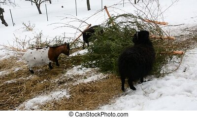 Feeding goats - Goats feed branches of cut spruce trees at...