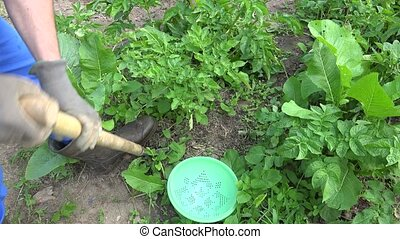 Peasant man harvest fresh potatoes to plastic dish in farm...