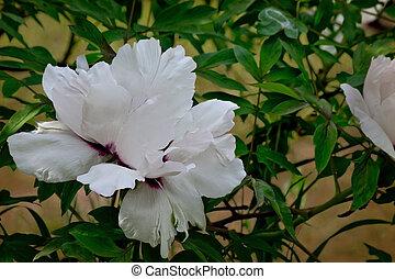 flower tree peony