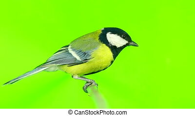 titmouse  isolations on a  green  screen
