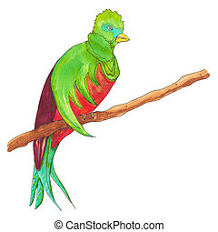 Resplendent Quetzal. Quetzal Bird on a branch. Hand drawn...