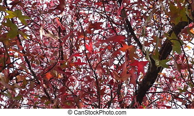 Red maple leaves moving on wind - Autumn nature video. Red...