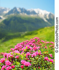 Blooming azalea in Savoy Alps, in the background Mount...