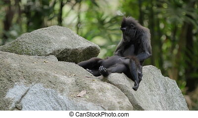 Sulawesi Crested Macaque. Monkeys looking for insects in the...