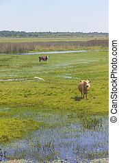 Cows in a swamp on a farm in Lagoa do Peixe National Park -...