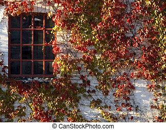 Autumn colors - Wine plant with red autumn leaves climbing...