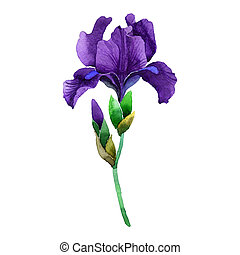 Wildflower iris flower in a watercolor style isolated. Full...