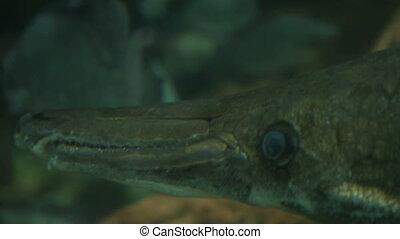 Alligator gar Atractosteus spatula , the ray-finned...