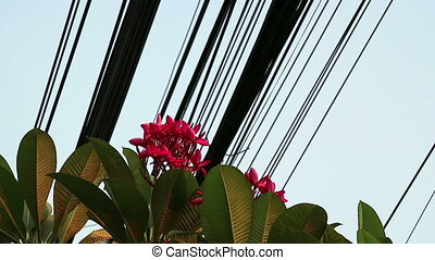 Nature and technology, Plumeria flowering tree and...