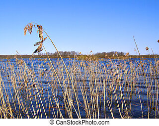 old reed on lake