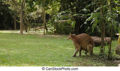 Male wallaby eating grass, and cleaning itself Singapore