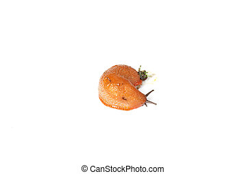 Arion rufus - Orange garden slug Phylum: Mollusca u2022...