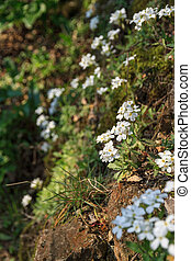 White flowers on a rocky slope, close-up - Small white...