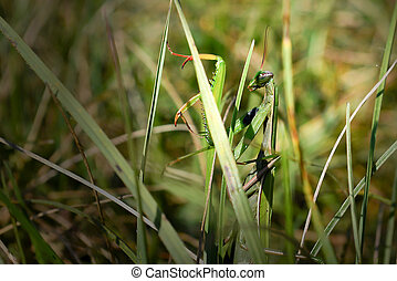 Praying mantis camouflaged in the grass.