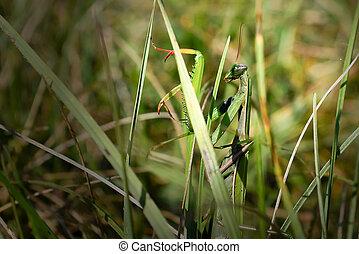 Praying mantis camouflaged in the grass. - Green praying...