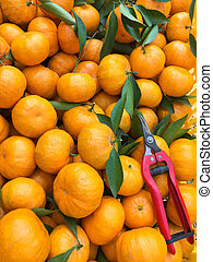 Chinese small cumquat oranges freshly picked from the field