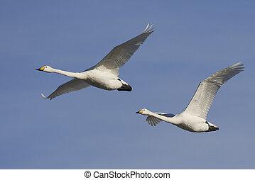 Whooper swans (Cygnus cygnus) - Whooper swans in flight with...