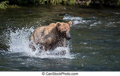 Alaskan brown bear chasing salmon