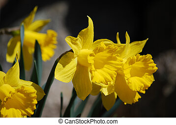 Gorgeous Garden with Yellow Jonquil Flowers - Flowering...