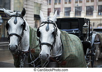 Two white horses pulled the streets of Vienna