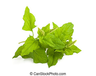 Good King Henry - Wild spinach (mountain spinach) isolated...