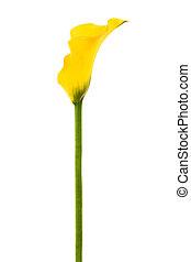 yellow calla  - Beautiful yellow calla on a white background